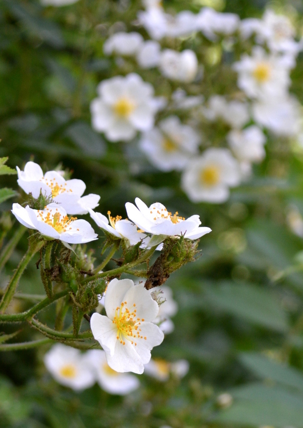 Wild Roses Blossoming Closeup
