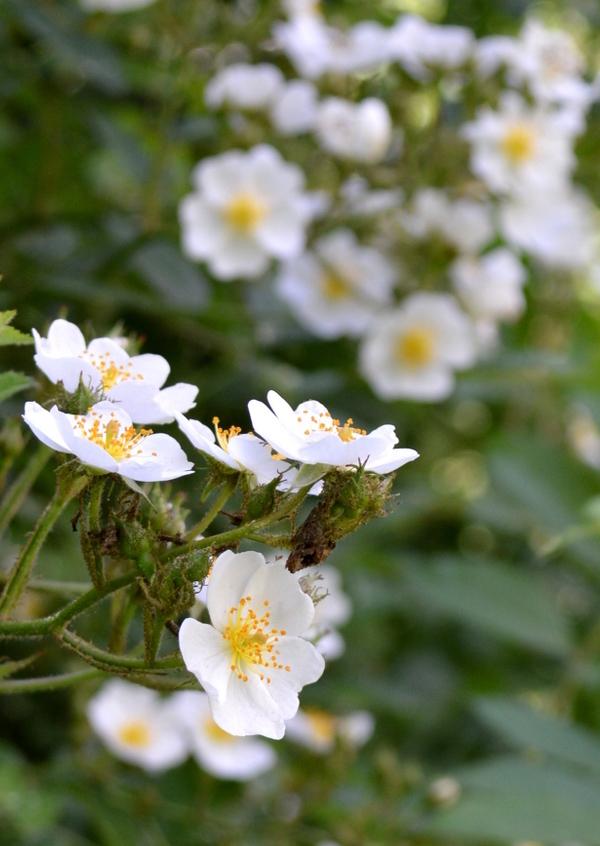 Wild Roses Blossoming Closeup