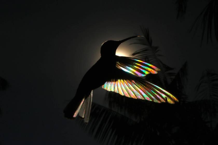 Christian Spencer Hummingbirds Vitral